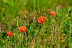 Red poppy flower Royalty Free Stock Image