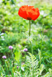 Red poppy flower on green meadow Royalty Free Stock Photo