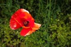 Red poppy flower with green vegetation background. A nice day of field and nature royalty free stock photography