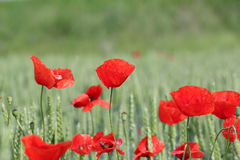 Red poppy flower and green wheat Stock Photo