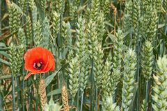 Red poppy flower among green wheat ears Stock Images