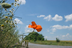 Red poppy flower grow near countryside road on a meadow. Blue sky with clouds as background Stock Image