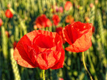 Red poppy flower-head in sunlight by sunset Royalty Free Stock Photography