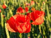 Orange-scarlet poppy flower-heads in sunlight by sunset royalty free stock photography