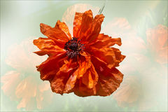 Red Poppy flower isolated . Royalty Free Stock Image