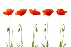 Red poppy flower isolated on white. Royalty Free Stock Images