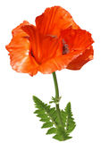 Red poppy flower. Isolated on an white background Royalty Free Stock Photo