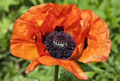Red poppy flower macro Stock Photo
