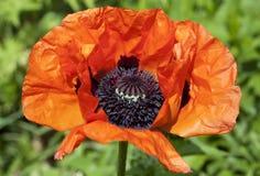 Red poppy flower macro. Red poppy flower in garden (macro view stock photo
