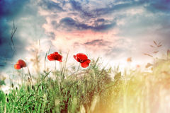 Red poppy flower in meadow and beautiful sky Royalty Free Stock Image