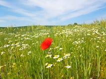 Red Poppy flower in meadow field. In summer royalty free stock photos
