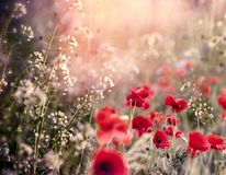 Red poppy flower in meadow between little white flowers. Beautiful nature Stock Image
