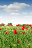 Red poppy flower meadow Stock Photography