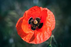 Red poppy flower over blurred, macro. Red poppy flower over blurred natural background. Top view macro photo with selective soft focus royalty free stock photos