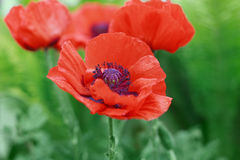 Red poppy flower or Papaver on the meadow, symbol of Remembrance Day or Poppy Day Stock Images
