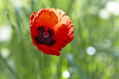 Red poppy flower (Papaver rhoeas) Stock Image