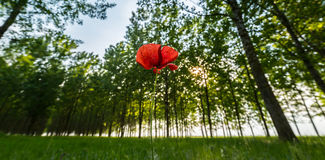 red poppy flower in a poplar tree forest Royalty Free Stock Image