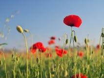 Red poppy flower portrait in meadow royalty free stock photo