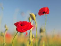Red poppy flower portrait in meadow stock photos