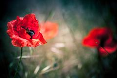 Red poppy flower. Over blurred natural background. Macro photo with selective soft focus royalty free stock images