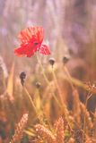 Red poppy flower in ripe wheat field. Design colors stock photography