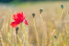 Red poppy flower in ripe wheat field. Design colors royalty free stock images