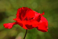 Red poppy flower, single poppy stock photography