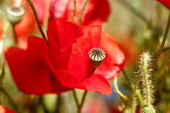 Red poppy flower during summer Royalty Free Stock Images