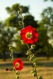 Red poppy flower stock image