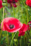 Red poppy flower Stock Photography