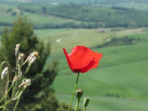 Red poppy flower in Tuscany countryside with rolling hills Stock Image