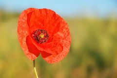 Red poppy flower on a uniform background stock image