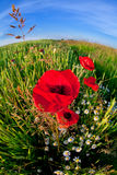 Red poppy flower via fish eye Royalty Free Stock Photography