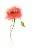 Red poppy flower Stock Images