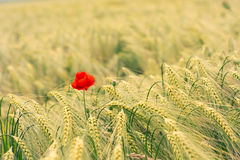 Red poppy flower in wheat field Stock Images