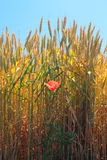 Red poppy flower on the wheat field Stock Photo