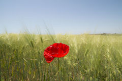Red poppy flower in the wheat field Stock Photos