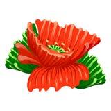 Poppy flower. Red poppy flower on white background vector illustration Royalty Free Stock Photography