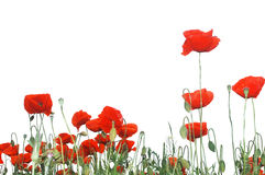 Red poppy flowers Stock Photo