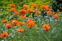 Free Red Poppy Flowers Royalty Free Stock Images - 19563529