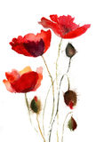 Red poppy flowers. On white background Stock Photography