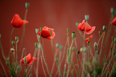 Red Poppy Flowers Stock Image