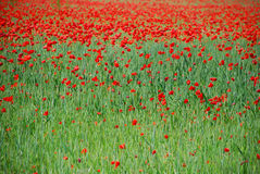 Red poppy flowers. Scenic view of red poppy flowers blooming in green field Stock Photography