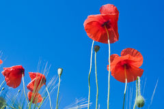 Red poppy flowers against blue sky. Close up of red poppy flowers against blue sky Royalty Free Stock Image