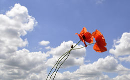 Red poppy flowers against the blue sky Stock Photo