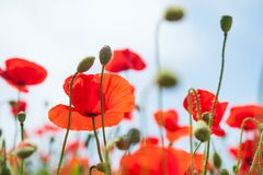 Red poppy flowers against the blue sky. Stock Image