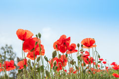 Red poppy flowers against the blue sky Royalty Free Stock Image