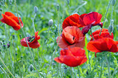 Red poppy flowers against green background. Nature in summer. Flowers of red poppy against green background royalty free stock photo
