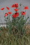 Red Poppy Flowers along a Way Royalty Free Stock Photography