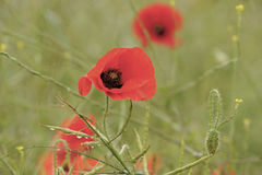 Red poppy flowers in bloom Royalty Free Stock Photo
